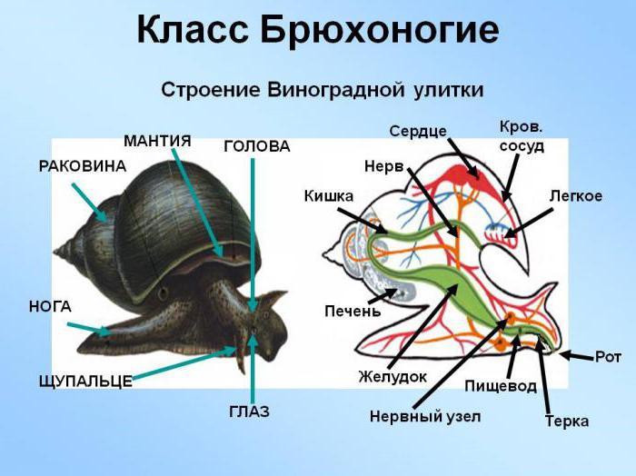 внутреннее строение ахатины